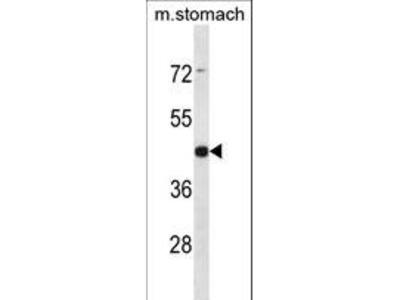 ARRDC1 Antibody