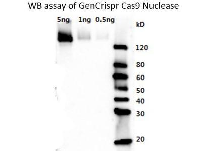Streptococcus pyogenes CRISPR-associated endonuclease Cas9/Csn1 Monoclonal Antibody