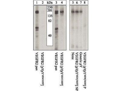 Anti-VEGF Receptor 2 (phospho Tyr1054) antibody