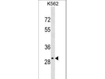 OR4S2 Antibody