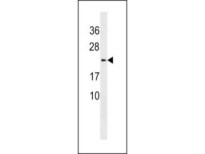 LYZL1 Polyclonal Antibody
