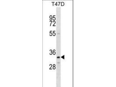OR4D11 Antibody