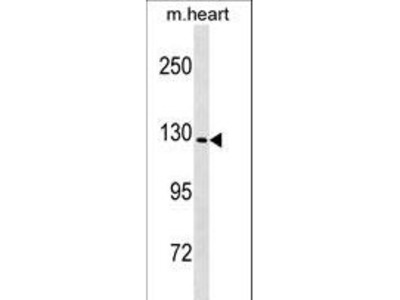 NALP6 / NLRP6 Antibody