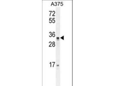 PUSL1 Antibody