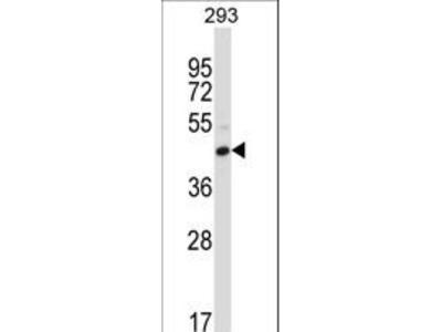 CD32C Antibody