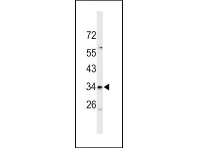 SLC39A3 / ZIP3 Antibody