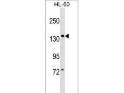 PWP2H / PWP2 Antibody