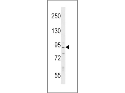 PPP1R9B / Spinophilin Antibody