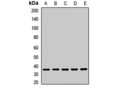 LRRC59 Antibody