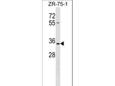 OR2L8 Antibody