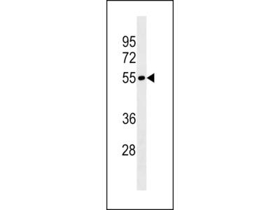 LRRIQ4 Antibody