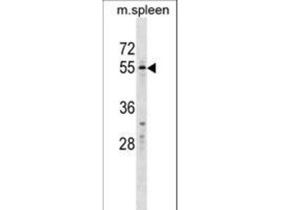 WFIKKN2 / GASP-1 Polyclonal Antibody