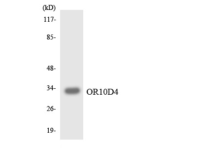 OR10D4P Polyclonal Antibody