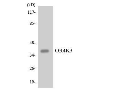 OR4K3 Polyclonal Antibody
