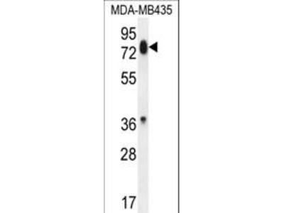 PCDHB13 Antibody