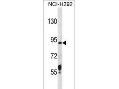 TMPRSS6 Antibody