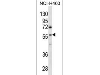 GABRR3 Antibody