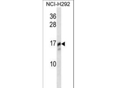 TRAPPC2 / SEDL Antibody