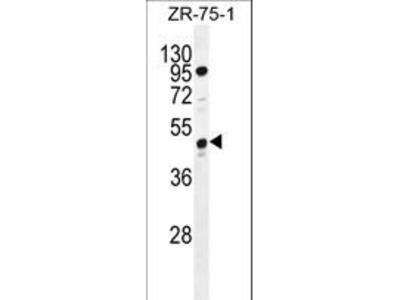 C7orf72 Antibody