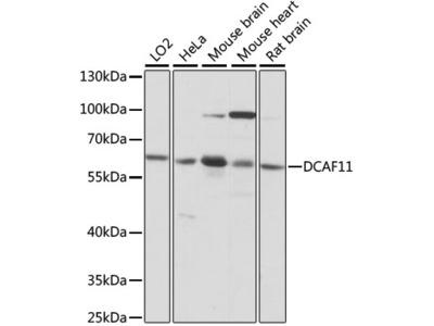 WDR23 / DCAF11 Polyclonal Antibody