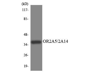 OR2A5+OR2A14 Antibody