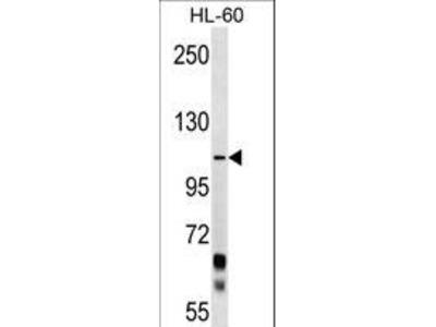 PCDHA10 Antibody
