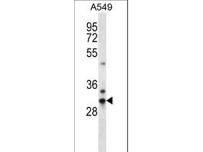 CDRT15L2 Antibody
