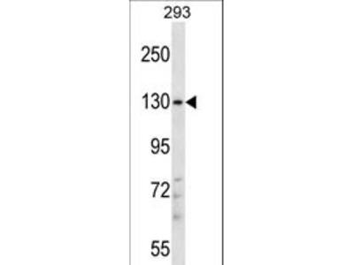 PITPNM2 / NIR3 Antibody