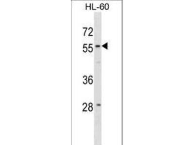 WDR21A / DCAF4 Polyclonal Antibody