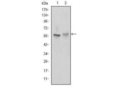 ABCG2 Antibody