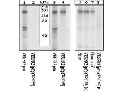 Anti-VEGF Receptor 2 (phospho Tyr1054/Tyr1059) antibody