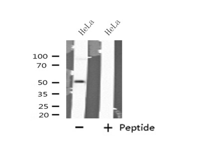 GABRA6 Antibody