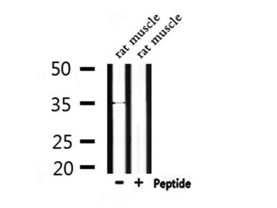 OR4C46 Antibody