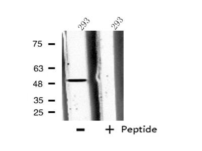 CPA5 Antibody
