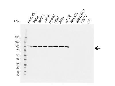 EXPORTIN-1 Antibody with Control Lysate