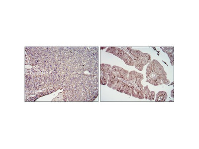 CD276 Antibody