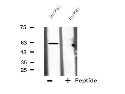 CES2 Antibody