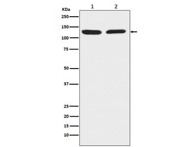 Anti-Chromogranin B Rabbit pAb