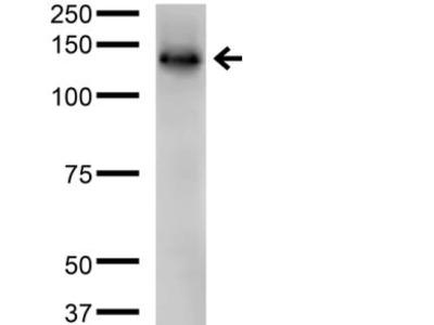 Protocadherin Gamma B2 Monoclonal Antibody