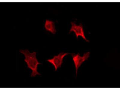 GJC3 Antibody