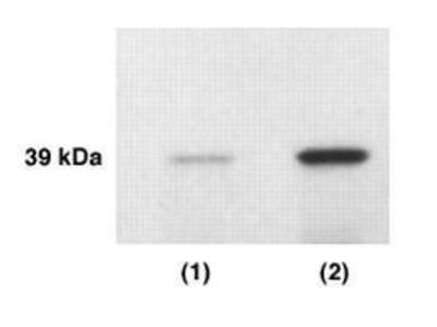 Anti-Kallikrein 4 antibody