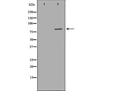 ALOX5 Antibody
