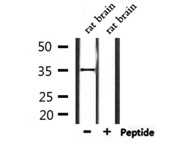 OR2L2 Antibody