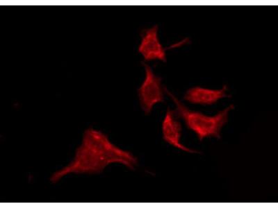 GRIN2D Antibody