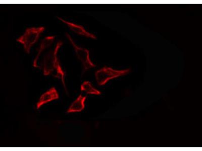 ARSF Antibody