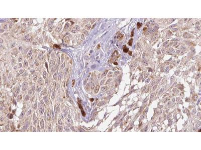 CGREF1 Antibody