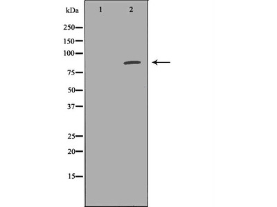EXT1 Antibody