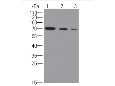 Mouse Anti-Heat shock 70 kDa protein cognate 4 Antibody