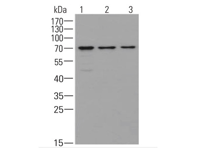 Hsp70 family ATPase SSC1 Mouse mAb for Yeast