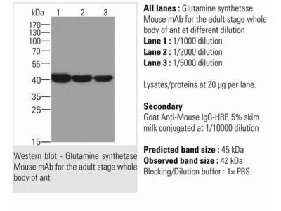 Mouse Anti-Glutamine synthetase Antibody
